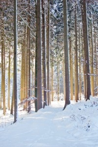 Tall Spruce Trees in snowy Forest